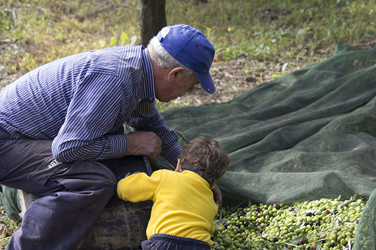olives harvesting grandpa and grandson